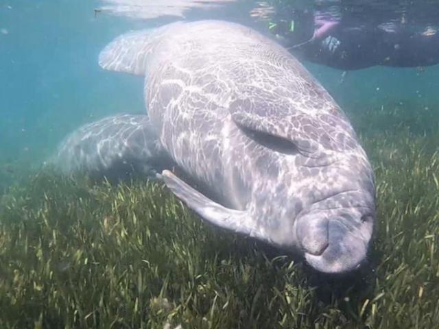 How to Meet Coastal Florida's 'Gentle Giants'