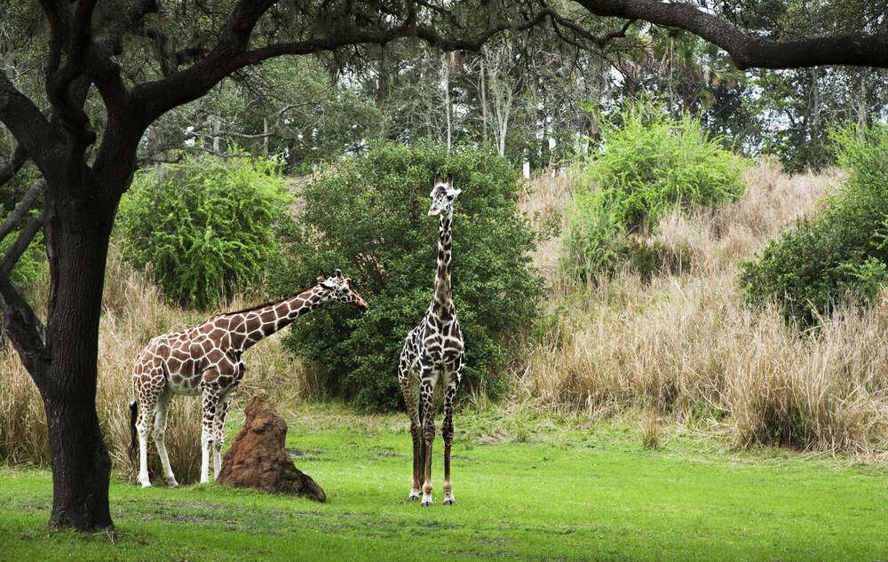 Disney's Animal Kingdom Lodge, Buena Vista