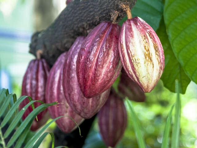 Chocolate Farm Baracoa