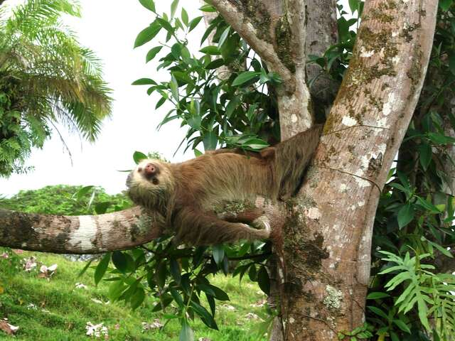 Sloths Named the New National Animal of this Central American Country